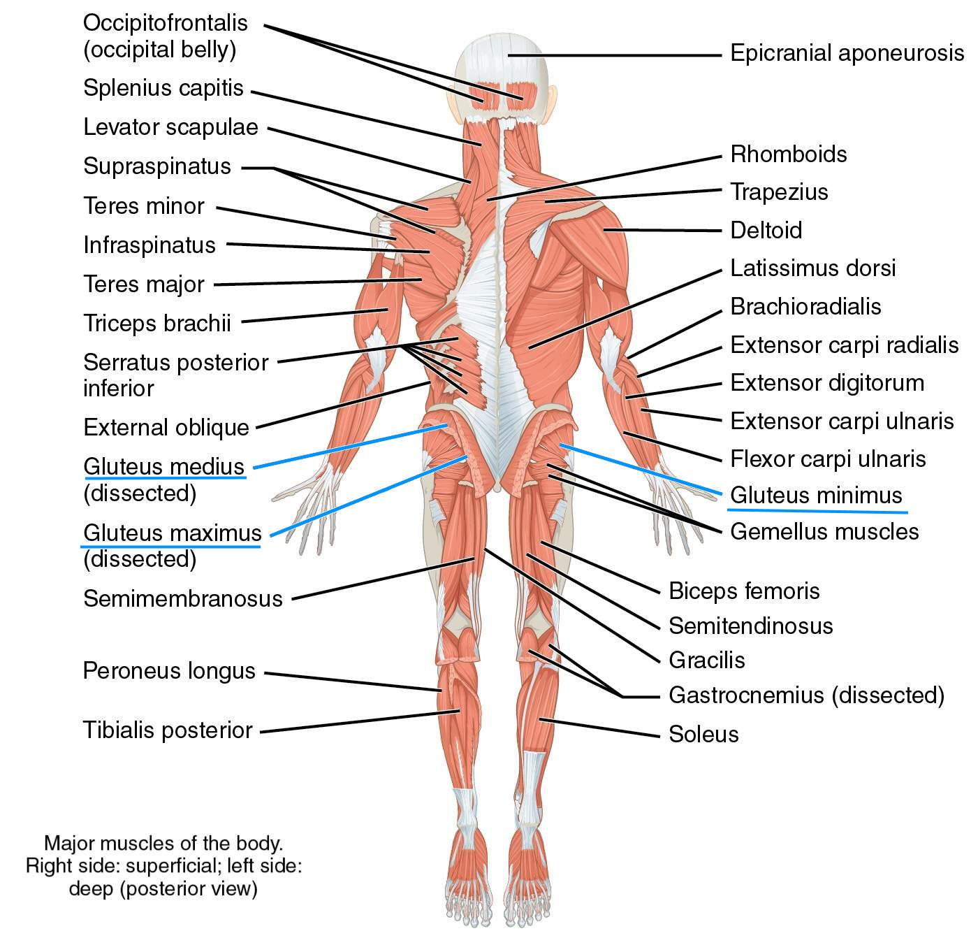 שרירי גוף האדם